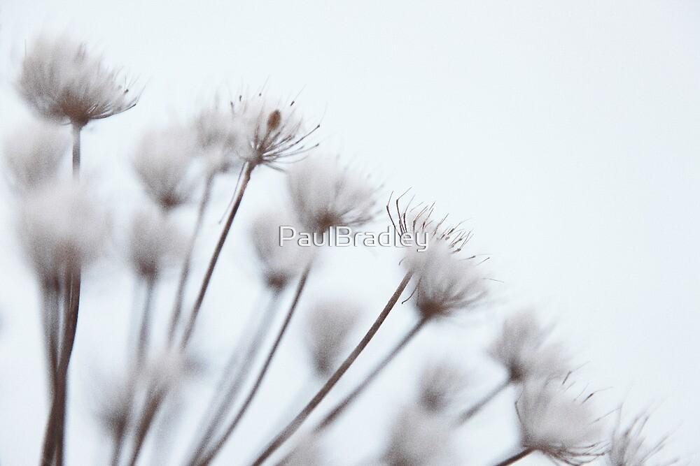 Winter Blossom by PaulBradley