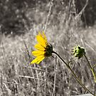 Sunflower Daydreaming by JulieMaxwell