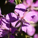 Purple Stars by Chappy