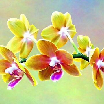 Phalaenopsis Orchid Taida Pride Cupid by SudaP0408