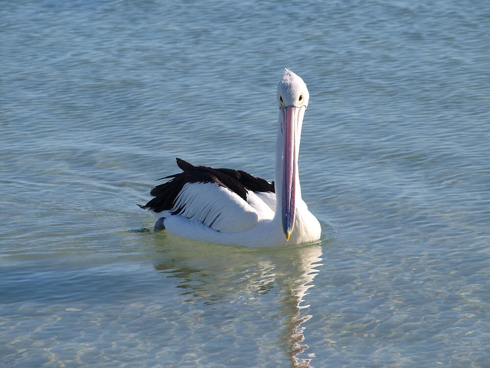 pelican looking down his nose by Rodney O'Keeffe