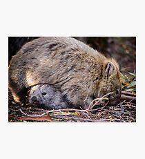 Wombats Photographic Print