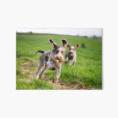 Italian Spinone Puppies Playing Chase Art Board Print