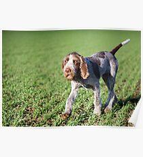 Italian Spinone Puppy Portrait Poster