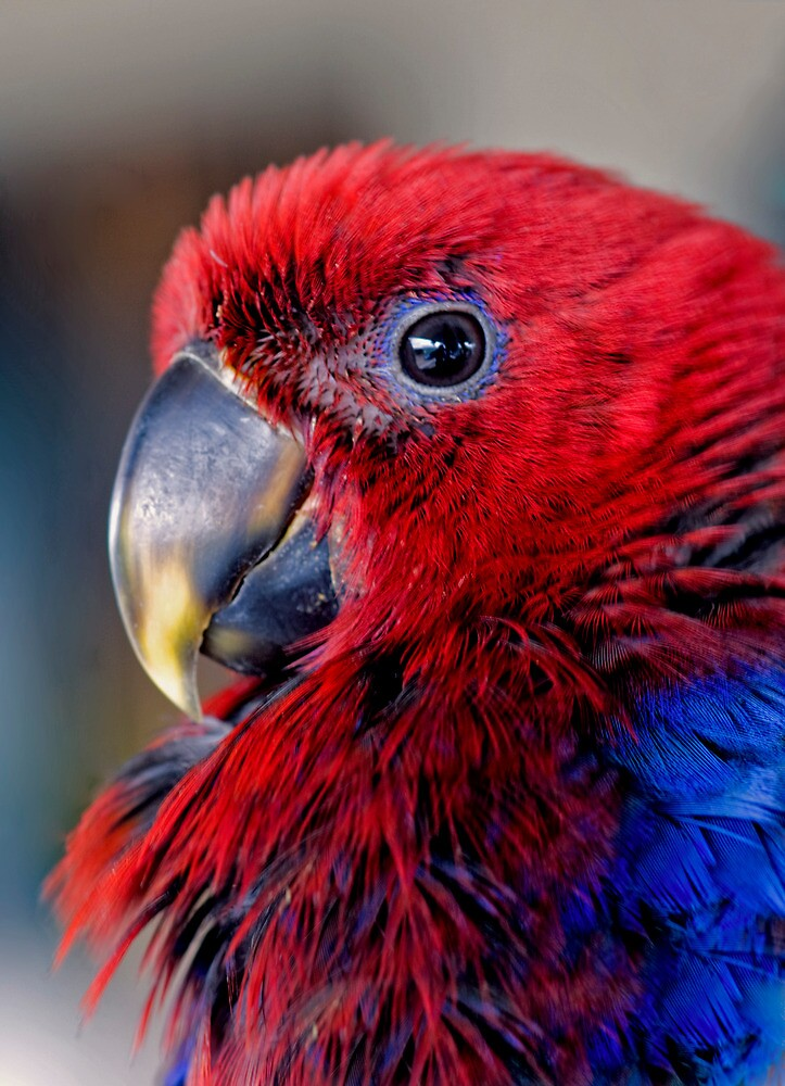 Ruffled Up - eclectus parrot by Jenny Dean