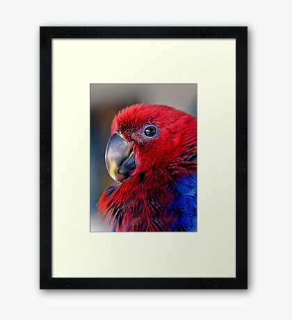 Ruffled Up - eclectus parrot Framed Print
