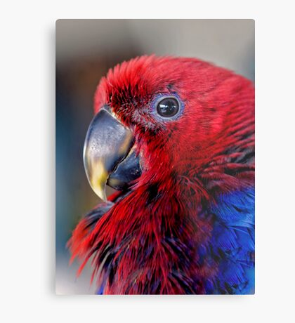 Ruffled Up - eclectus parrot Metal Print