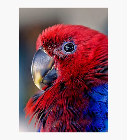 Ruffled Up - eclectus parrot Photographic Print