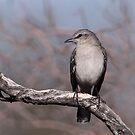 Northern Mockingbird by tomryan