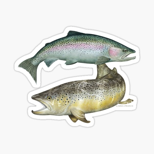Brown Trout & Rainbow Trout Sticker