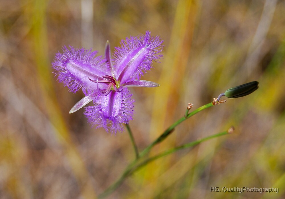 Thysanotus arenarius (Fringe Lily).  by HG. QualityPhotography