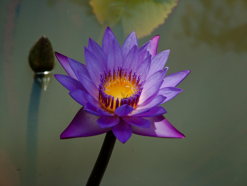 Quot Blue Lotus Flower In Pond Quot By Rajeev Costa Redbubble