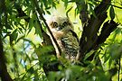 Great Horned Owl Chick #2 by Vickie Emms