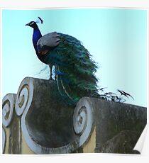 Peacock at Castelo de Saint Jorge Poster