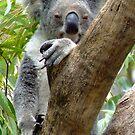 Koala Stare - Rockhampton Zoo, Queensland Australia by PhoenixArt