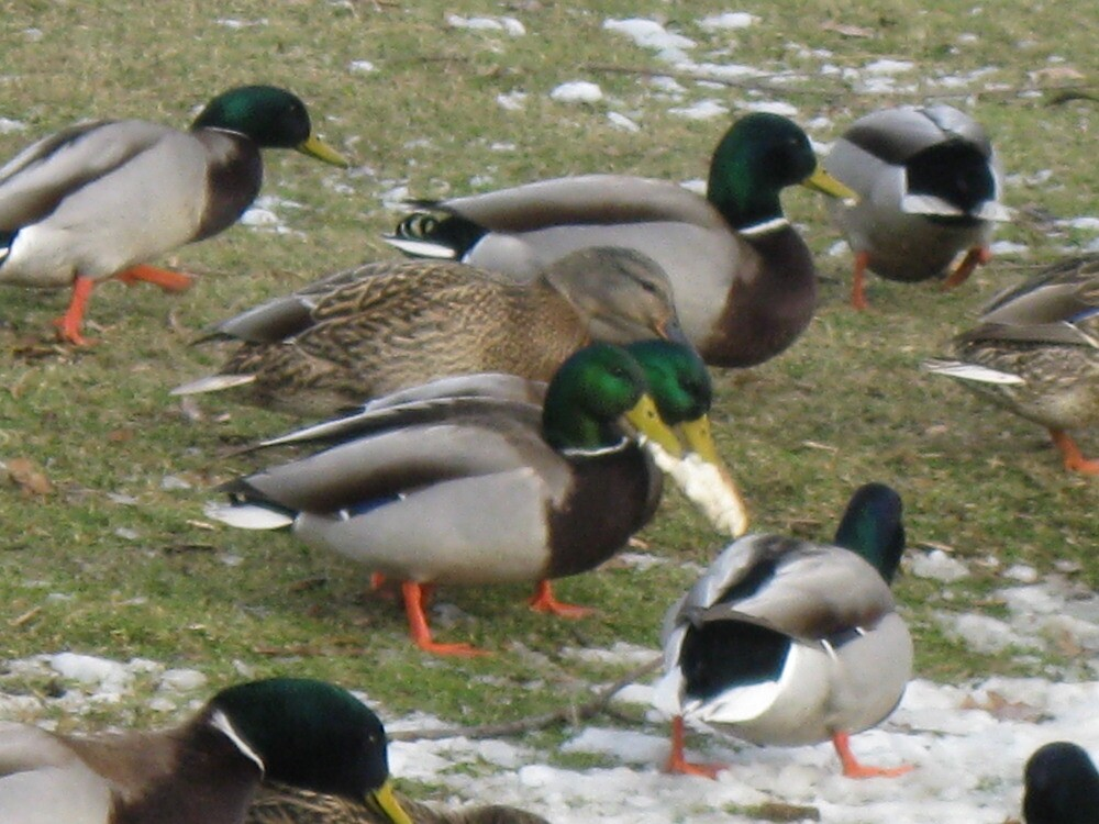 two headed duck by Jeannie Matthews