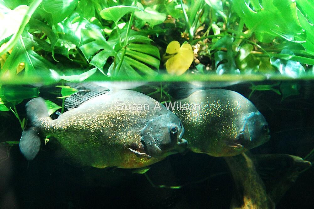 Piranhas by Susan A Wilson