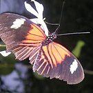 Orange Butterfly by mechelle853
