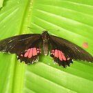 Butterfly Black by mechelle853