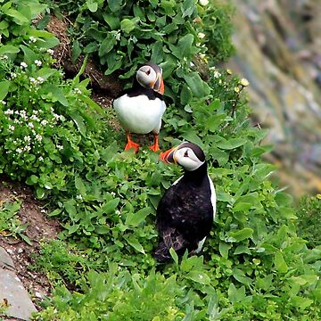 Puffins by rayemond