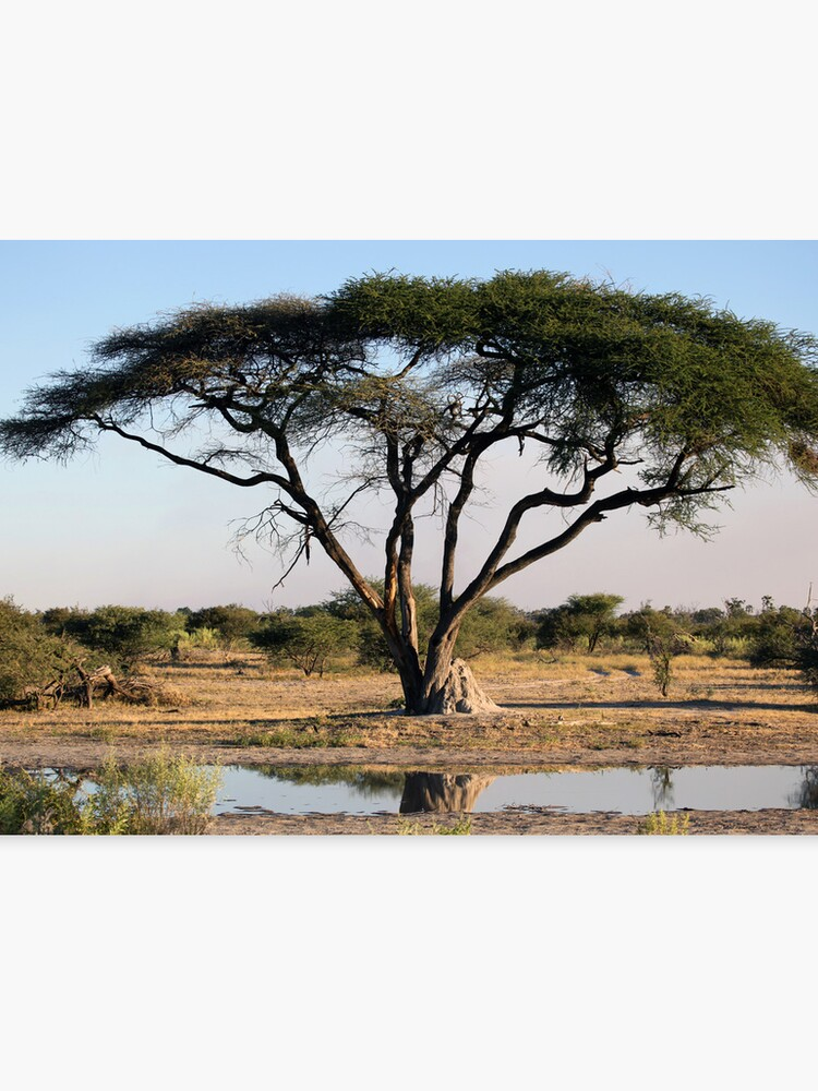 An Acacia Tree In Botswana Canvas Print By Nymphalid Redbubble