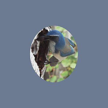 Blue Scrub Jay Hiding Acorn by ccnnddrr55