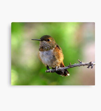 Rufous Hummingbird ~ Female Canvas Print