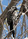 Ladder-backed Woodpecker ~ Female by Kimberly Chadwick