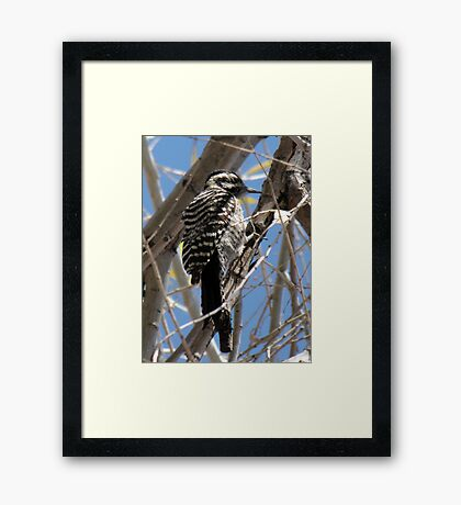 Ladder-backed Woodpecker ~ Female Framed Print