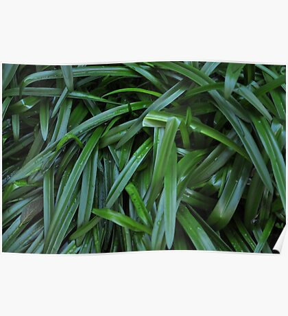 wet lily leaves Poster