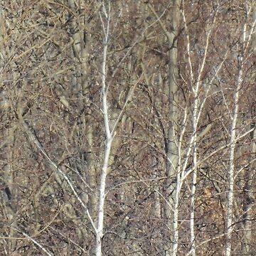 Birches by the Mystic by elaine226