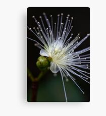 Lilly Pilly Canvas Print