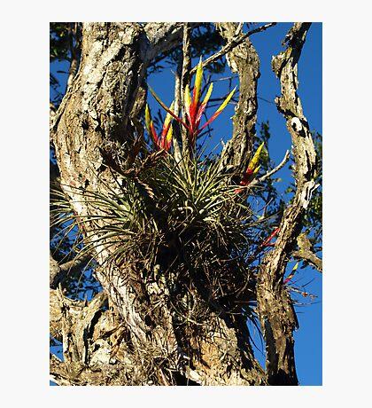 Pinuelas, parasit plant in Costa Rica Photographic Print