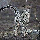 Cheetah by Jo McGowan