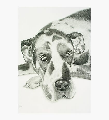 Harlequin Great Dane Photographic Print
