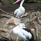 Pair of pelicans by mgeritz