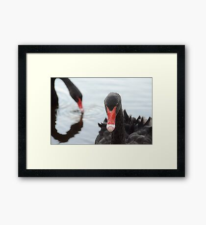 Swanning About Framed Print