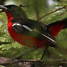 Crimson brested shrike (Laniarius atrococcineus) by christopher363