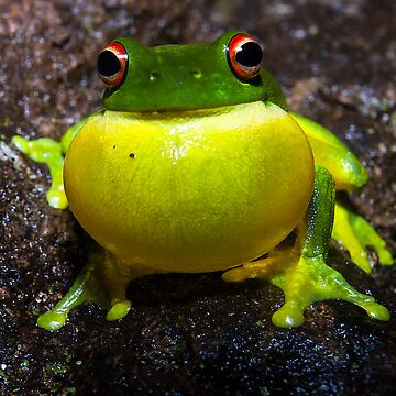 Red Eyed Tree Frog by drec