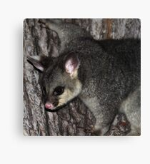 Possum Tree Hug Canvas Print