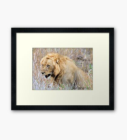 THE INCREDIBLE FORCE OF RESPECT - THE LION  - *Panthera leo* Framed Print