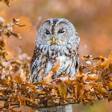 Tawny Owl in woodland by Femaleform