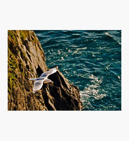 Gull in flight Photographic Print