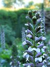 Umpherston Acanthus by Emma Holmes