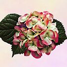 One Pink and White Hydrangea by Susan Savad