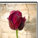 Red Tulip Rock Wall by Gregory Colvin