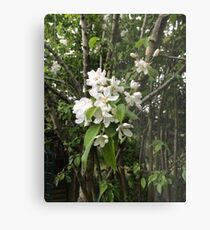 Crab Apple Blossom, Oxfordshire Metal Print
