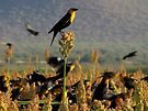 Yellow-headed Blackbirds by Kimberly Chadwick