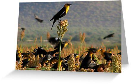 Yellow-headed Blackbirds by Kimberly Chadwick