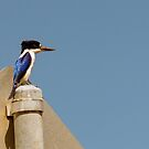 Forest Kingfisher by SusanAdey